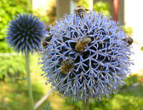 Bees climbing on a round blue flower Stock Photography