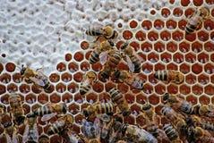 bees close honey Στοκ Φωτογραφίες