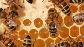 Bees close honey in the comb stock video