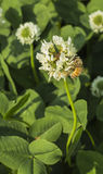 Bees and clover flowers Stock Photography