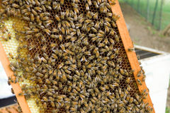 Bees clustered in a slide at an apiary on bequia Royalty Free Stock Image