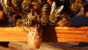Bees and cocoons Queens Bees. stock video footage