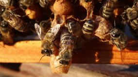 Bees and cocoons Queens Bees. stock video