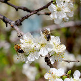 Bees colecting pollen from plum blossom Stock Photos