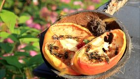 Bees collect apple fruit sweet juices stock video