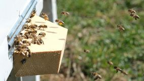 The bees collect flower pollen and put it in a beehive of spring season. Slow-motion video. Apitherapy. Beekeeping. Products stock video footage