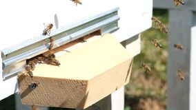 The bees collect flower pollen and put it in a beehive of spring season. Slow-motion video. Apitherapy. Beekeeping. Products stock video