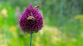 Bees collect flowers on flowers. Bees collect flowers on flowers royalty free stock photography