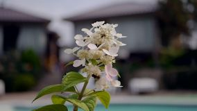 Bees collect honey from flowers in the garden. Bees fly on white flowers. stock video