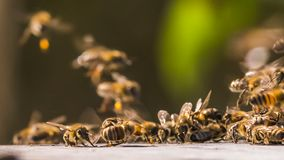 Bees collect honey from the surface. A group of bees collect honey from the surface stock video footage