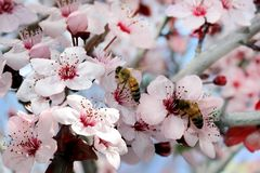 Bees collect nectar. From a flowering peach tree stock photography