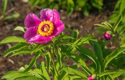 Bees collect nectar from a blooming pink peony. Bees collect nectar from a blooming pink peony stock photography