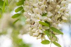 Bees collect nectar from clusters of fragrant white acacia flowe Stock Images