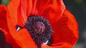 Bees Collect Nectar in the Flower Poppy 2 stock video