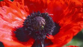 Bees Collect Nectar in the Flower Poppy 3 stock footage