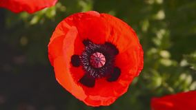 Bees Collect Nectar in the Flower Poppy 4 stock video