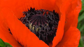 Bees collect nectar in the flower of a red poppy stock video footage