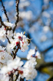 Bees collect nectar. Flowering cherry trees, beautiful white flo. Wers Royalty Free Stock Photos