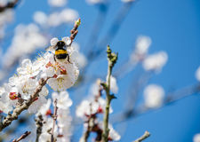 Bees collect nectar. Flowering cherry trees, beautiful white flo. Wers Royalty Free Stock Photo