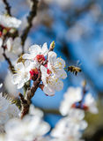 Bees collect nectar. Flowering cherry trees, beautiful white flo. Wers Stock Images