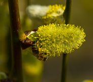 Bees collect nectar from flowering willow stock images
