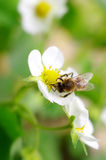 Bees collect nectar from flowers Royalty Free Stock Photos