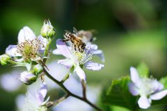 Bees collect nectar from the flowers of blackberries Royalty Free Stock Photos