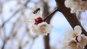 Bees collect nectar in flowers of fruit trees in the garden, closeup on blue sky background stock footage