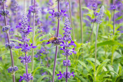 Bees collect nectar from lavender Stock Image
