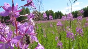 Bees collect nectar and pollen from fireweed. stock video footage