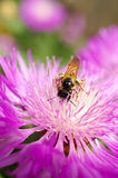 Bees collect nectar on purple flower Stock Image