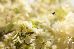 Bees collect pollen from blossoming apple trees on a clear spring day. A branch of a blossoming apple tree with a bees flying to its flowers in the rays of the stock images