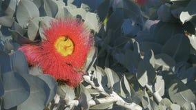 Eucalyptus macrocarpa flower and bees