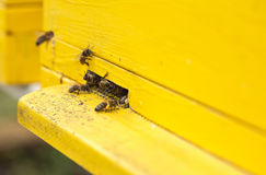 Bees collect pollen for honey. Close up royalty free stock photo