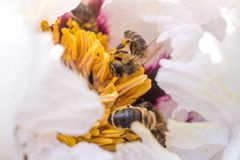 Bees collect pollen from Paeonia suffruticosa, tree peony or paeony flower. There are many bees inside the flower Royalty Free Stock Photography