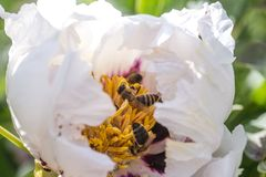 Bees collect pollen from Paeonia suffruticosa, tree peony or paeony flower. There are many bees inside the flower Stock Photo