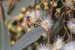 Bees are collecting eucalyptus nectar (honey). Summer time, eucalyptus flowers. Macro. Small DoF set on bee stock image