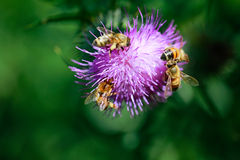 Bees collecting nectar. Close up view Royalty Free Stock Image