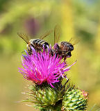 Bees collecting nectar from pink flower plant Royalty Free Stock Photography