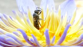 Bees are collecting nectar. stock video footage