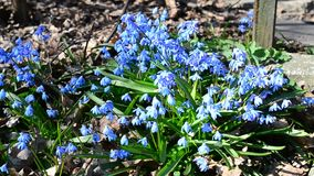 Bees collecting nectar or pollen from Siberian squill stock video