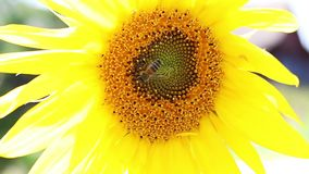 Bees collecting nectar on the sunflower. close-up stock video footage