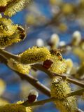 Bees collecting pollen on yellow catkins Stock Photo