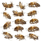 Bees collection Royalty Free Stock Photo