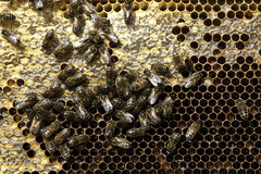 Bees and comb Stock Image