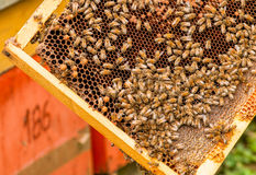 Bees in the combs royalty free stock photos