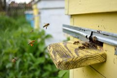 Bees come flying. To the yellow beehive Stock Photo