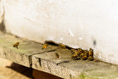 Bees coming in and out of their beehive Royalty Free Stock Photography