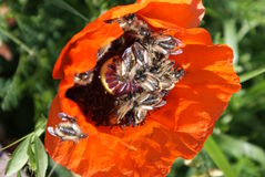 Bees congregating inside a Poppy Stock Image
