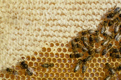 The bees convert the fresh nectar into a delicious and healthy honey. Honeycomb. Stock Photos